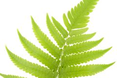 Fresh Young Green Asian Rain forest Fern leaves. Royalty Free Stock Photography
