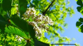 Fresh young green chestnut bloom bright sun light, close up shot. Fresh young green chestnut foliage bright sun light, close up shot. Lake on the background stock video