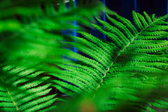 Fresh young green fern leaf close up Royalty Free Stock Image
