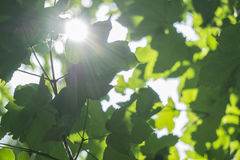 Fresh young green foliage bright sun light, close up shot. Lake on the background Royalty Free Stock Photo