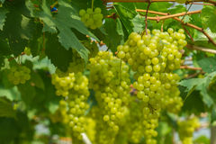 Fresh and young green grapes Royalty Free Stock Photo