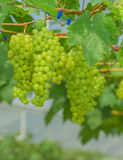 Fresh and young green grapes Royalty Free Stock Images