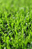 Fresh young green grass lawn in the spring autumn day at sunrise. Or sunset Stock Photo