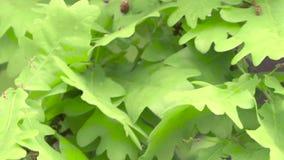 Fresh young green oak leaves in bright sun light. Close up. Fresh young green oak leaves in bright sun light, the wind shakes the oak leaves, green leaves, oak stock footage