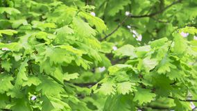 Fresh young green oak leaves in bright sun light. Close up stock footage