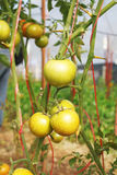 Fresh young green tomatoes Stock Photography