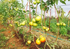 Fresh young green tomatoes. Still on the plant Stock Images