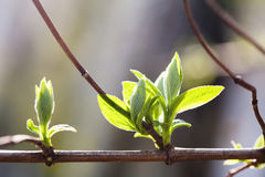 Fresh young greenery leaves. Spring time and new life concept. Soft focus, macro view shallow depth of field Royalty Free Stock Photos