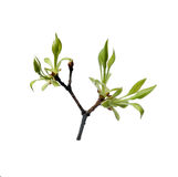 Fresh young leaves on the branch Royalty Free Stock Photo