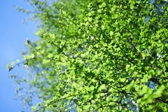 Fresh young leaves of green. Against the sky Royalty Free Stock Photo