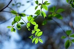 Fresh young leaves of green against. The sky Royalty Free Stock Image