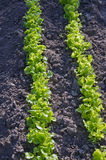 Fresh young lettuce row in spring garden Stock Photo