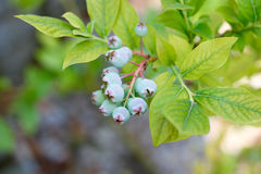 Fresh young organic blueberries on the bush, still immature. In closeup Stock Photo