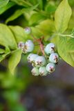 Fresh young organic blueberries on the bush, still immature. In closeup Stock Images
