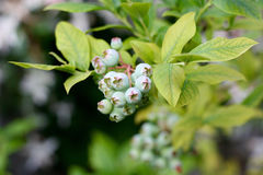 Fresh young organic blueberries on the bush, still immature. In closeup Stock Photos
