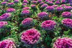 Fresh young organic collard greens,cabbage garden. Fresh young organic collard greens,red cabbage garden Stock Photos
