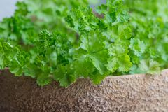 Parsley in a pot. Fresh young parsley growing in a pot royalty free stock photos