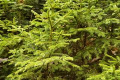 Fresh young spruces Stock Image