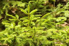 Fresh young spruces Royalty Free Stock Image