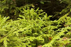 Fresh young spruces. Fresh young spruce trees growing in the forest, branches of young spruces royalty free stock photography