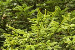 Fresh young spruces. Fresh young spruce trees growing in the forest, branches of young spruces stock photography