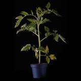 Fresh young tomato plant Stock Photos