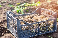 Fresh young yellow potatoes in a box on the field close-up, agriculture, farming, seasonal work, vegetables, environmentally frien. Dly product, good harvest Royalty Free Stock Photo