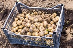 Fresh young yellow potatoes in a box on the field close-up, agriculture, farming, vegetables, environmentally friendly product. Good harvest. selective focus Royalty Free Stock Photos