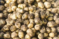 Fresh young yellow potatoes on the field close-up, agriculture, farming, vegetables, environmentally friendly product. Good harvest. selective focus Stock Photos