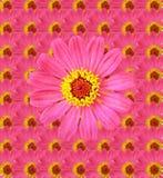 Fresh Zinnia flower background Royalty Free Stock Photos