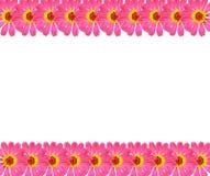 Fresh Zinnia flower background Stock Images