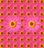 Fresh Zinnia flower background Stock Photography