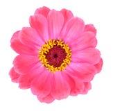 Fresh zinnia Royalty Free Stock Image