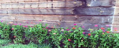 Fresh Zinnias Climbing An Aged Wooden Wall. Colorful Zinnias Thriving Against A Weathered Wooden Wall Stock Photography