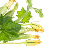 Fresh zucchini, green branch with leaves and blossoms Royalty Free Stock Photo