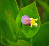 Fremont's Leatherflower Royalty Free Stock Images