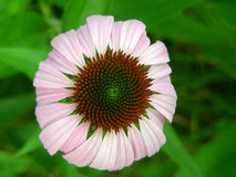 Freshly Bloomed Purple Coneflower Stock Image