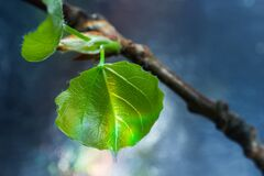 Free Freshly Blossomed Leaves On A Tree Branch. Stock Image - 178709461