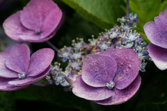 Freshly Budding Purple Hydrangea Stock Photography