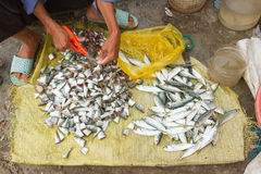 Freshly catch sardines, anchovies. Cut with scissors on a Vietnamese market Stock Photo
