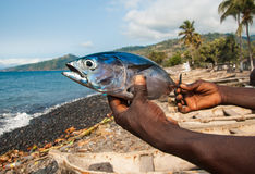Freshly caught Albacore tuna on the hands of a local fisherman. Stock Photo