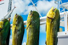 Fresh dolphin fish. Freshly caught Atlantic dolphin fish at a marina in the Florida Keys royalty free stock images