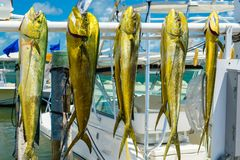 Fresh dolphin fish. Freshly caught Atlantic dolphin fish at a marina in the Florida Keys royalty free stock photo