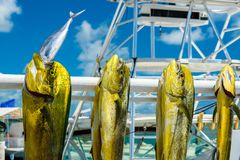 Fresh dolphin fish. Freshly caught Atlantic dolphin fish at a marina in the Florida Keys stock images