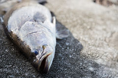 Freshly caught Barramundi fish Stock Photography