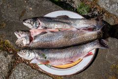 Salvelinus, char, charr, Saibling. Freshly caught chars on a plate for barbecuing just caught fresh stock photography