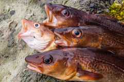 Freshly caught cods on a rock. (close up un heads Royalty Free Stock Photo