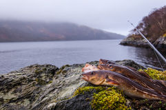 Freshly caught cods on a rock with fishing rod. And Scottish loch in the background Stock Photography