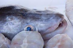 Freshly caught Conger eel Stock Images