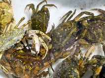 Freshly caught crabs Royalty Free Stock Image